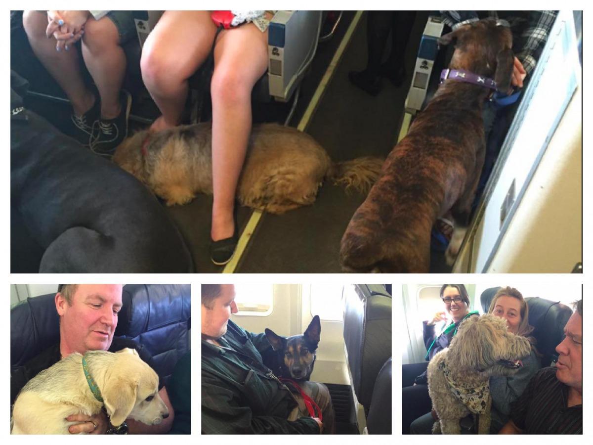 加拿大當地兩家大航空公司,破例讓寵物可以跟著主人一起待在客艙,西捷航空甚至一假班機內容納了5隻貓、19隻狗跟2隻烏龜!   取自Twitter,instagram