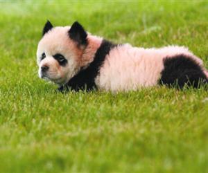 """韩国兴起宠物整形风潮 宠物狗被整成""""熊猫"""""""
