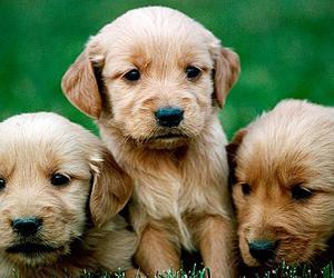 什么影响幼犬的出生体重?