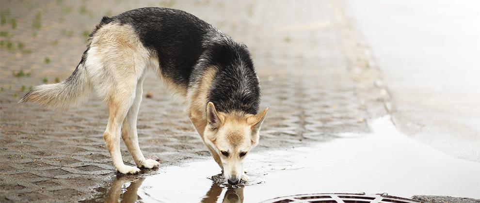WSAVA:犬钩端螺旋体病的诊断、治疗与管理